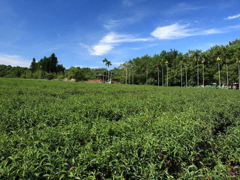 Luye Gaotai Tea Farm