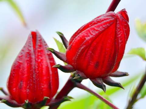 ​Welcome to Jinfong for Roselle season during Nov.1 to 30.