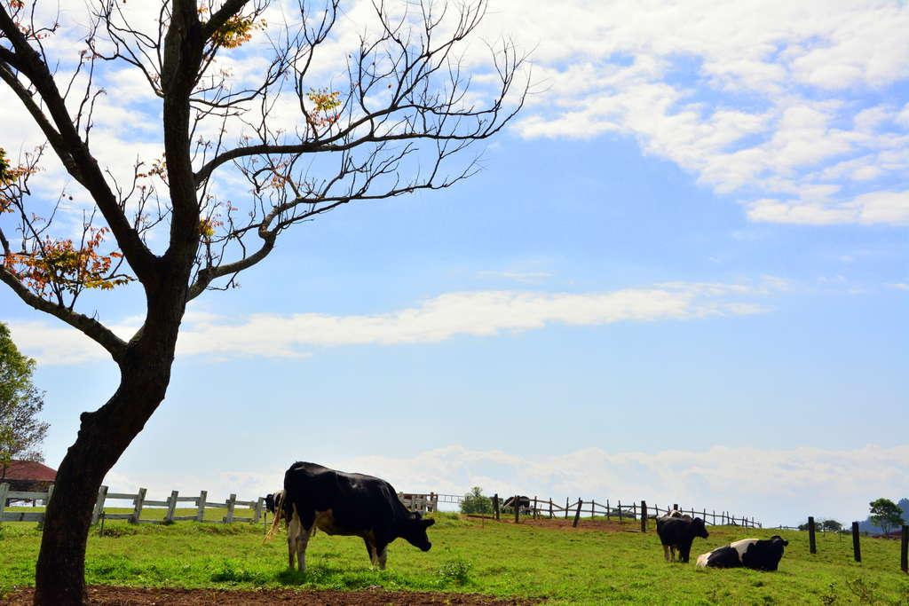 悠閒舒適的牛兒