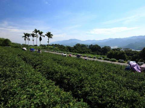 鹿野高台観光茶園