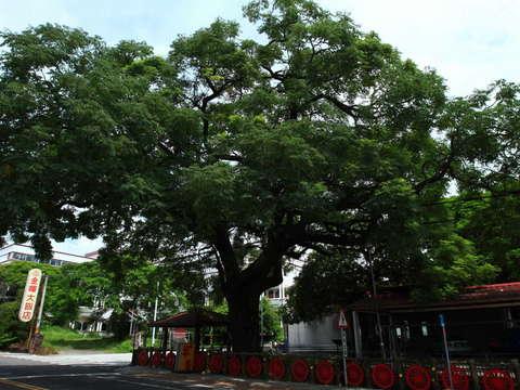 龍田慈濟苦楝樹